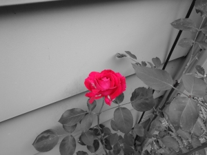 Red Rose 6-21-12