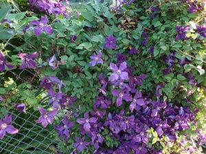 Clematis Flowers 6-27-14