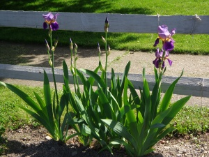 Irises 5-26-14
