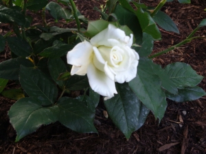 JFK Rose 6-27-14