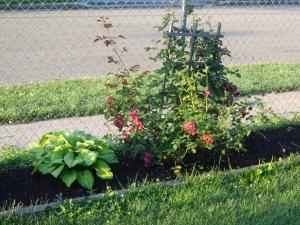Side Rosebush 6-27-14