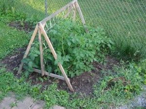 Tomato Plants 6-27-14
