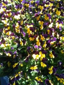 More Violas