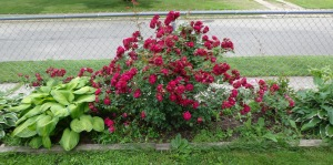 Side Rosebush 6-17-15