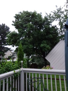 Maple Tree 7-3-15