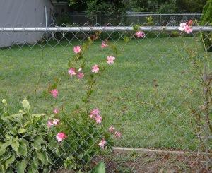 Pink Climbing Flowers 8-29-15