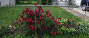 Side Rosebush 6-17-15  2