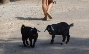 Animal Park - Baby Goats - 5-27-16