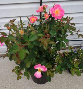 Boogart's Rose Bush 6-3-16