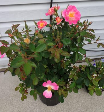 Boogart's Rose Bush 6-3-16