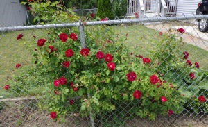 Red Roses 6-6-16