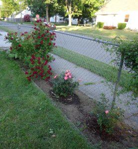 Sidewalk Garden 6-6-16