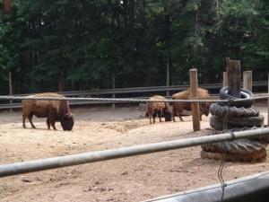 Animal Park - Bison - 5-27-16