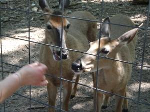Animal Park - Feeding Deer - 5-27-16