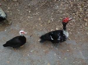 Animal Park - Happy Duck - 5-27-16
