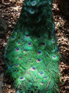 Animal Park - Peacock Tail - 5-27-16