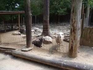 Animal Park - Sheep - 5-27-16