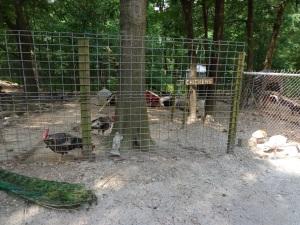 Animal Park - Turkeys - 5-27-16