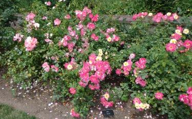Boogart Roses - Biltmore 7-6-17