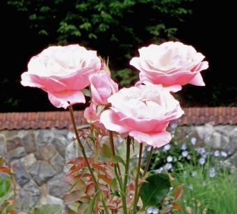 Pink Roses - Biltmore - Edited 7-6-17