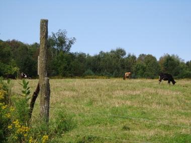 Cows 9-10-17