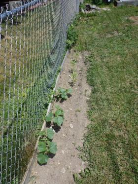 Cucumbers 6-8-18