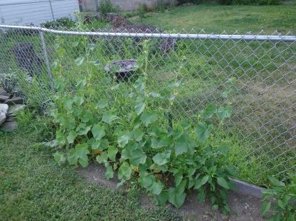 Cucumbers 7-9-18