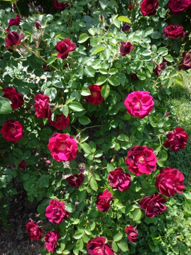 Red Roses 6-8-18