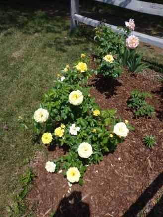 Yellow Roses 6-8-18
