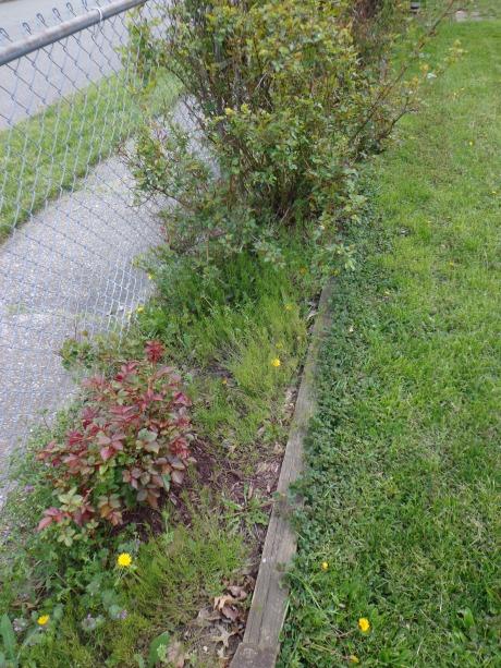 Fence Garden Weeds 5-9-19
