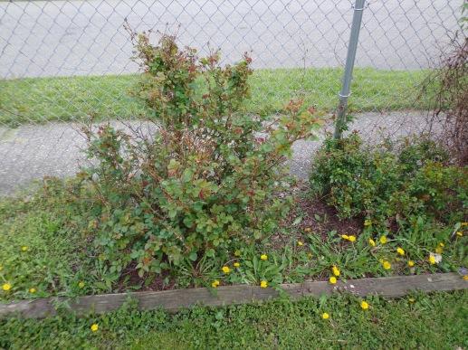 More Garden Weeds 5-9-19