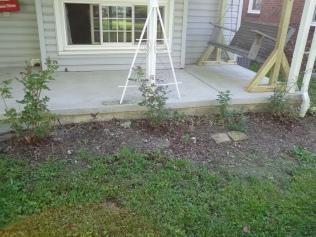 Porch Roses 5-23-19