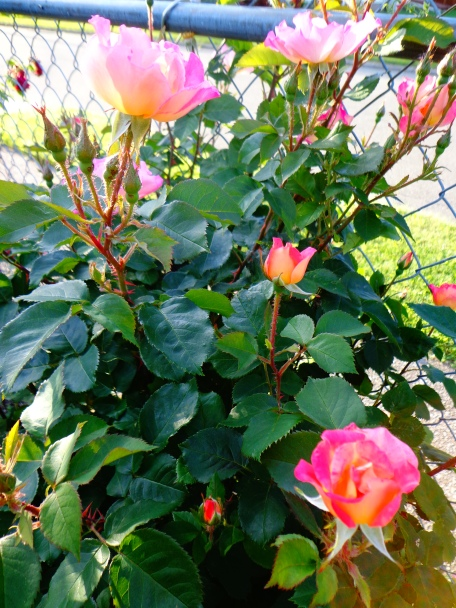 Boogart's Rose Bush