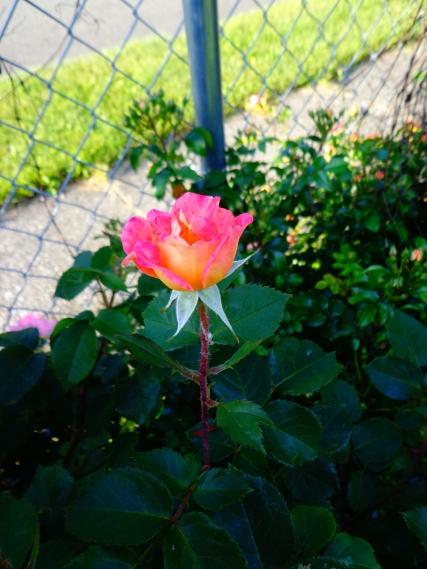 Boogart's Rose