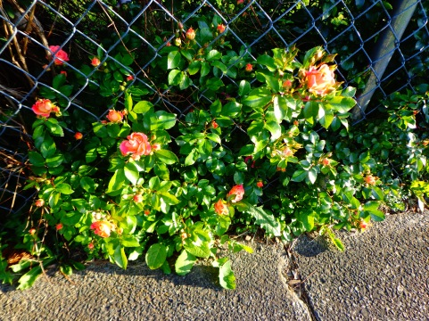 Peach Roses