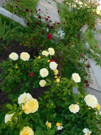 Corner Rose Bed 2020